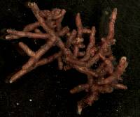 Tylospora fibrillosa image