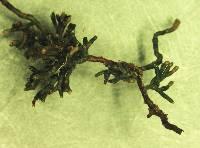 Image of Lactarius quieticolor