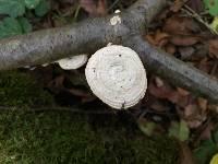Trichaptum biforme image