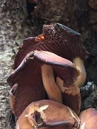 Hypholoma lateritium image