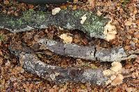 Pleurotus ostreatus image