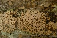 Image of Aleurodiscus berggrenii