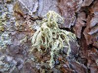 Evernia mesomorpha image