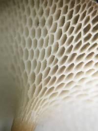 Polyporus arcularius image