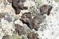 Umbilicaria phaea image