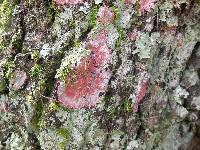 Cryptothecia rubrocincta image