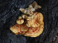 Laetiporus gilbertsonii image