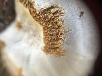 Phellinus arctostaphyli image