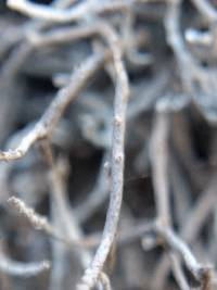 Dendrographa alectoroides image