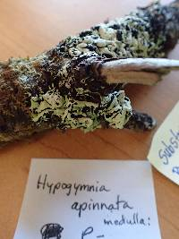 Hypogymnia apinnata image