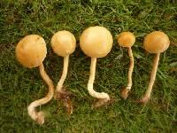 Agrocybe pediades image