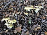 Amanita phalloides image