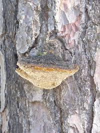 Porodaedalea pini image