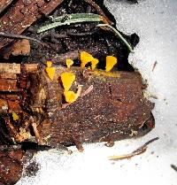 Heterotextus alpinus image