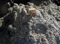 Psilocybe caerulescens image