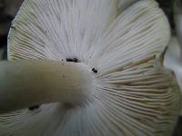 Tricholoma sejunctum image