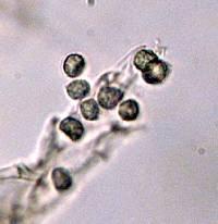 Laccaria amethysteo-occidentalis image