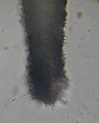 Psilocybe zapotecorum image