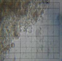 Psilocybe ovoideocystidiata image