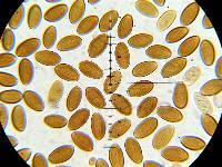 Protostropharia semiglobata image