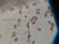 Leratiomyces squamosus image