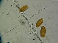Boletellus ananas image