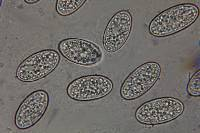 Microstoma floccosum image