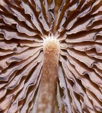 Psilocybe subtropicalis image