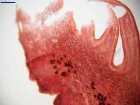 Tricholosporum tropicale image