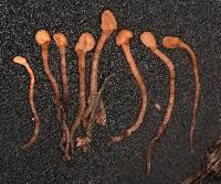 Image of Heyderia abietis