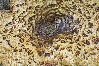 Polyporus squamosus image