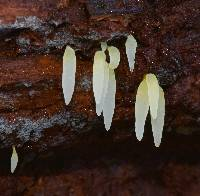 Image of Clavaria bresadolae