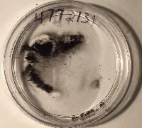 Coprinopsis atramentaria image