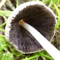 Coprinopsis lagopus image