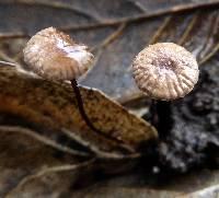 Gymnopus quercophilus image