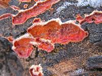 Image of Phlebia coccineofulva
