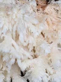 Hericium coralloides image