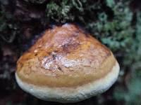 Fomitopsis pinicola image