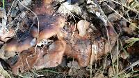 Lepista nuda image