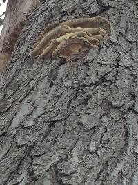Laetiporus conifericola image