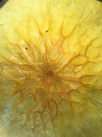 Bolbitius titubans image
