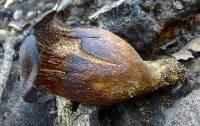 Omphalotus olivascens image