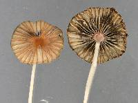 Parasola hercules image