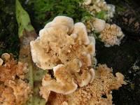 Antrodiella zonata image