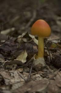 Amanita jacksonii image