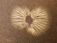 Heimiomyces atrofulvus image