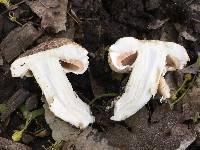 Agaricus xanthodermus image
