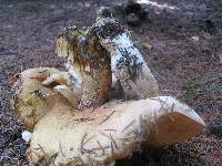 Boletus chippewaensis image