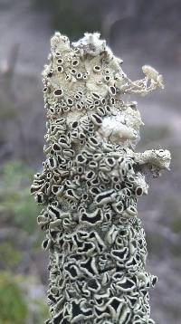Flavoparmelia rutidota image
