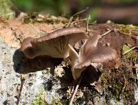Pleurotus pulmonarius image